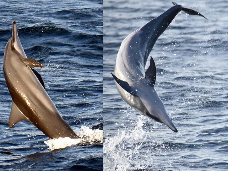 Spinner dolphins leaping Marine Savers Maldives