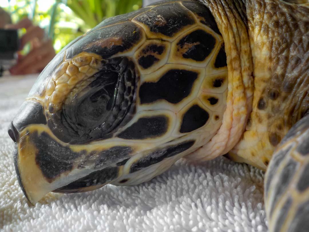 Tao rescue Hawksbill turtle Marine Savers Maldives (1) 1080