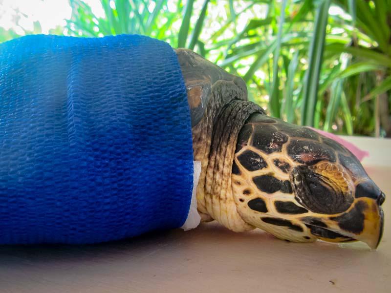 Tao rescue Hawksbill turtle Marine Savers Maldives (3)