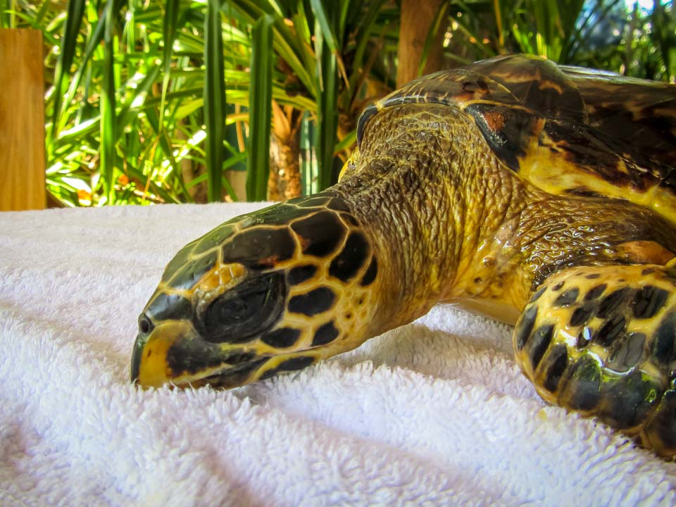 Tao rescue Hawksbill turtle Marine Savers Maldives (4)