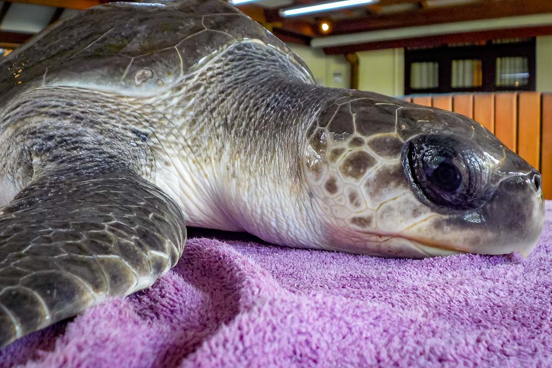 Mode juvenile Olive Ridley rescue turtle Marine Savers Maldives (4)