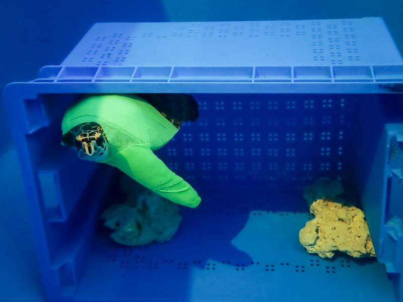 Tao rescue Hawksbill turtle Marine Savers Maldives