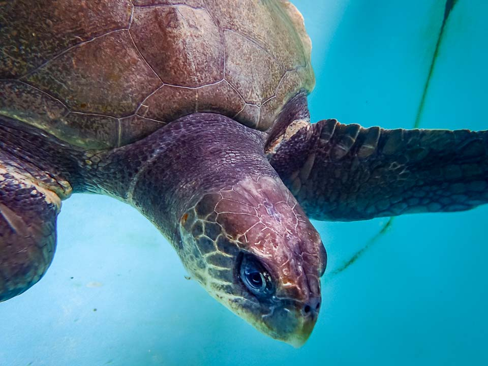 Ruby juvenile Olive Ridley turtle Marine Savers Maldives
