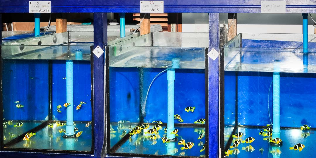 Lab bred Clownfish juveniles Marine Savers Maldives