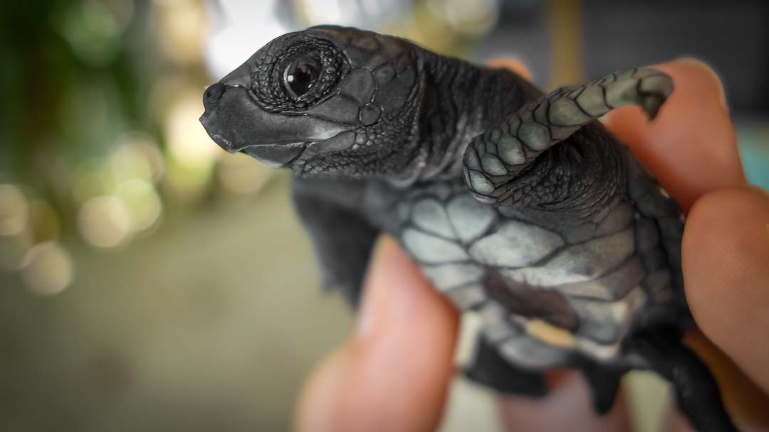 Lucky - Olive Ridley hatchling Maldives (rare)