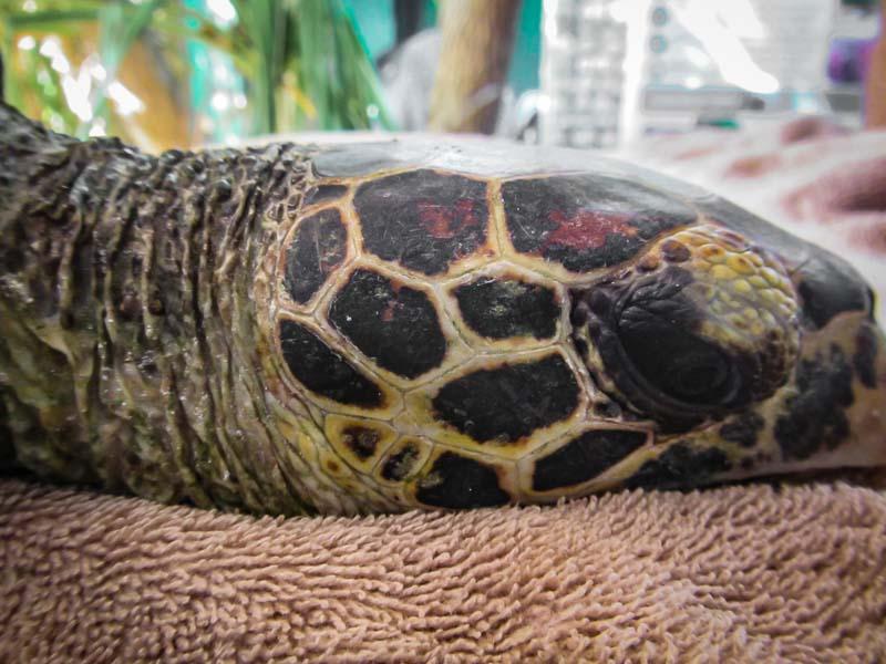 Tao rescue Hawksbill turtle Marine Savers Maldives (5)