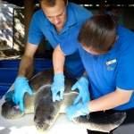Bowser Olive Ridley turtle rescued from ghost net (1)
