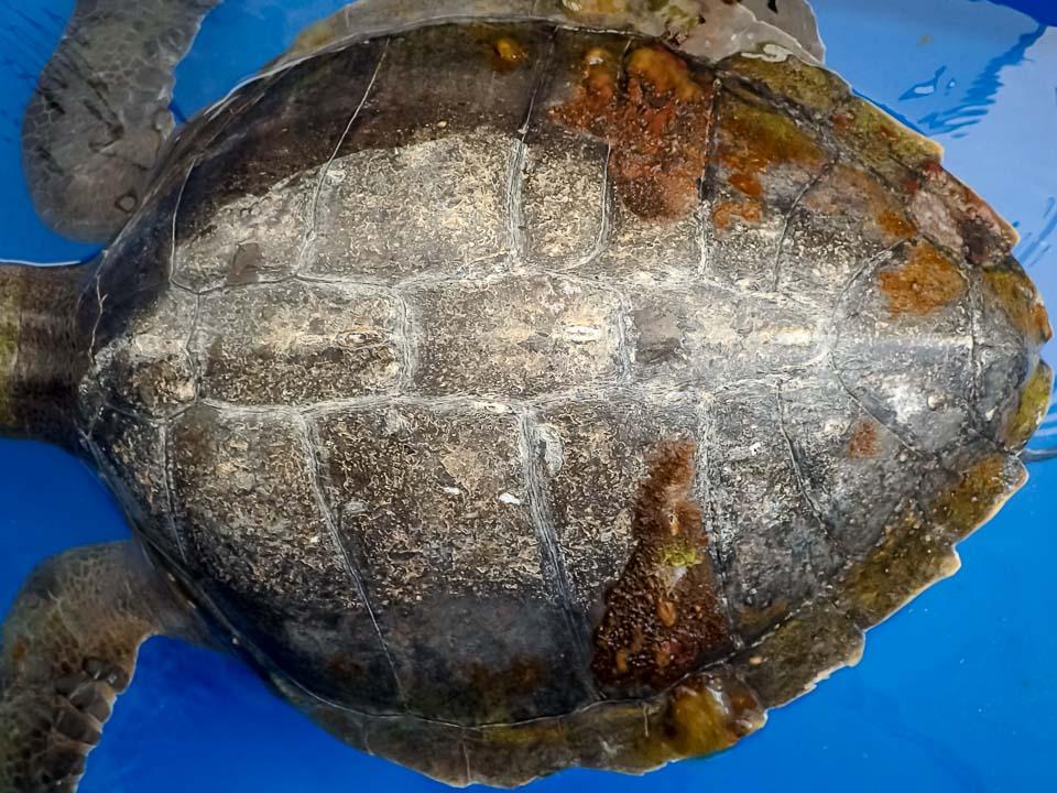 Rescued olive ridley turtle 'Thakuru' [RB.LO.116]