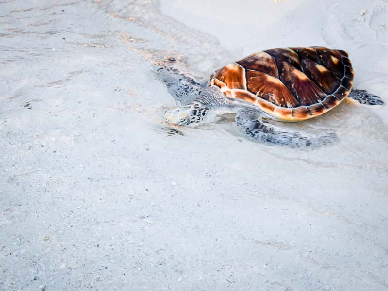 Turtle rehabilitation and release Maldives SUNSET