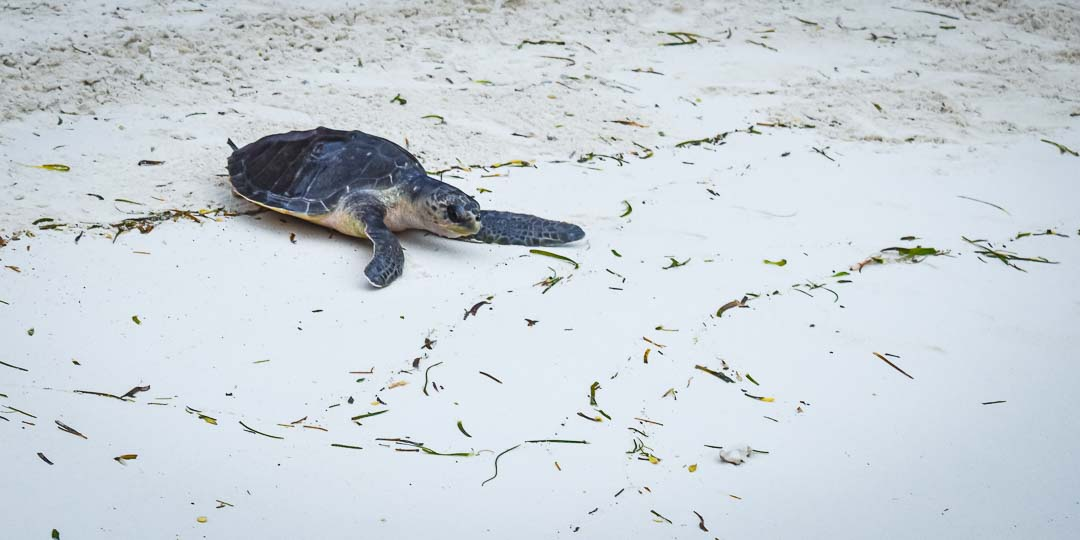Coral female olive ridley turtle Maldives [RB.LO.161]