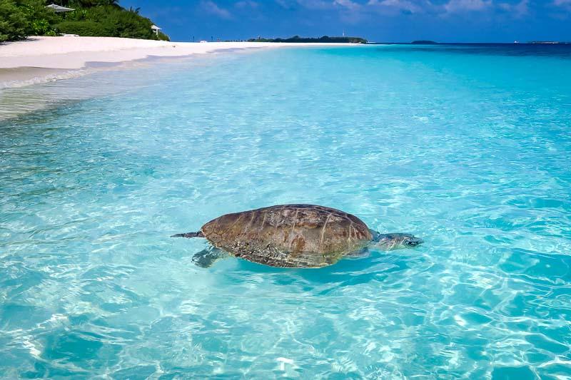 Frisbee rescue turtle Marine Savers Maldives