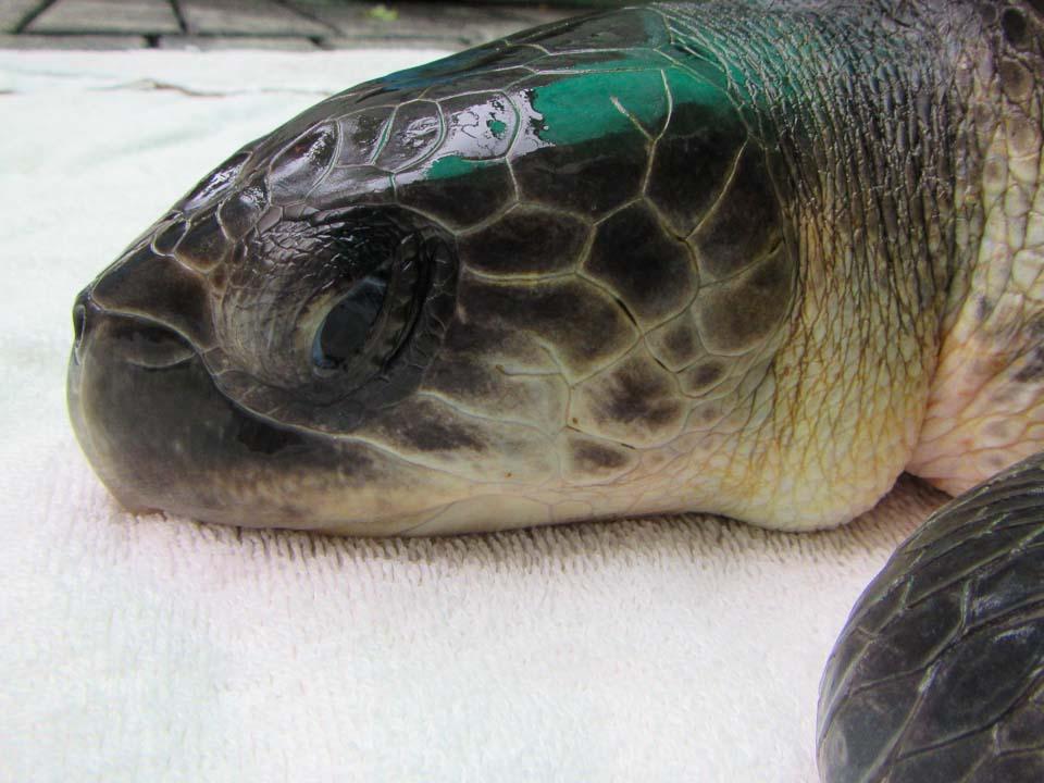 Miraya Olive Ridley rescue turtle Maldives