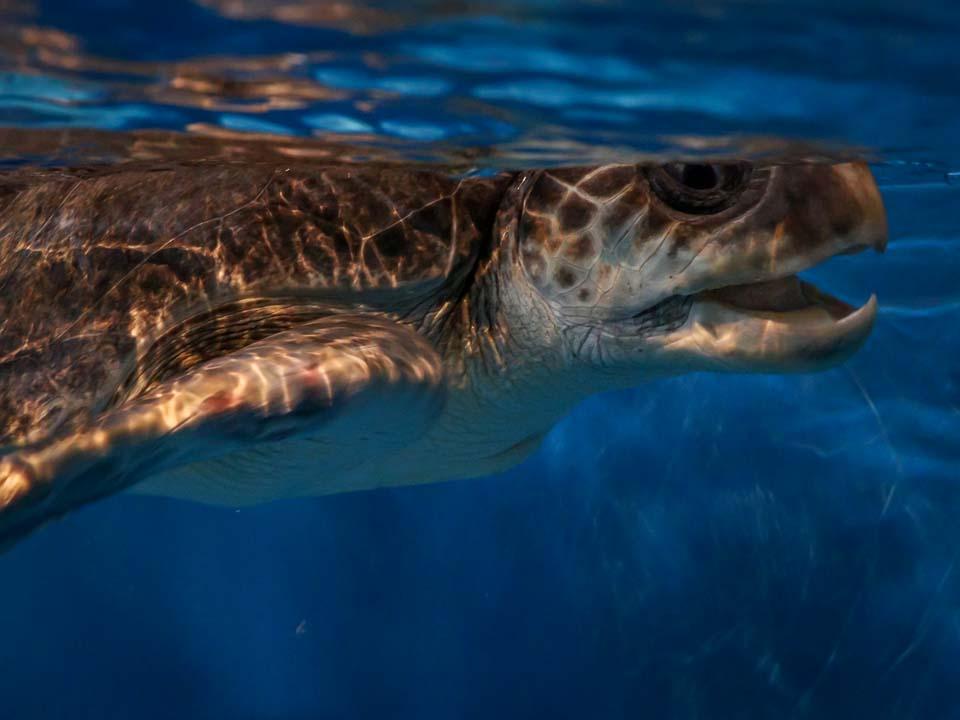 Maw rescue sea turtle Marine Savers Maldives (3) [960px]