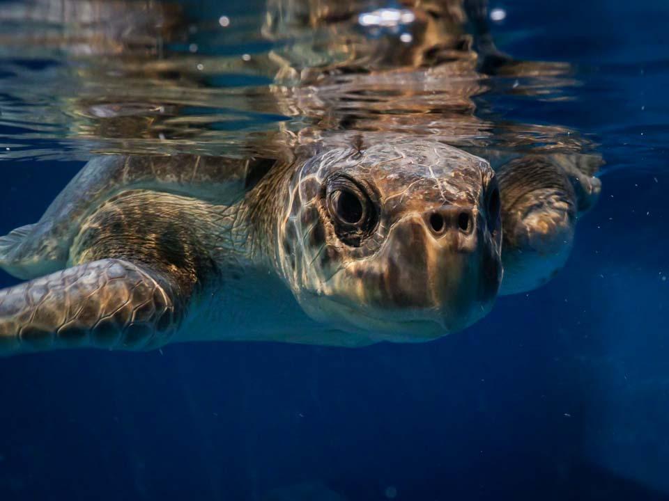 Maw rescue sea turtle Marine Savers Maldives (4) [960px]