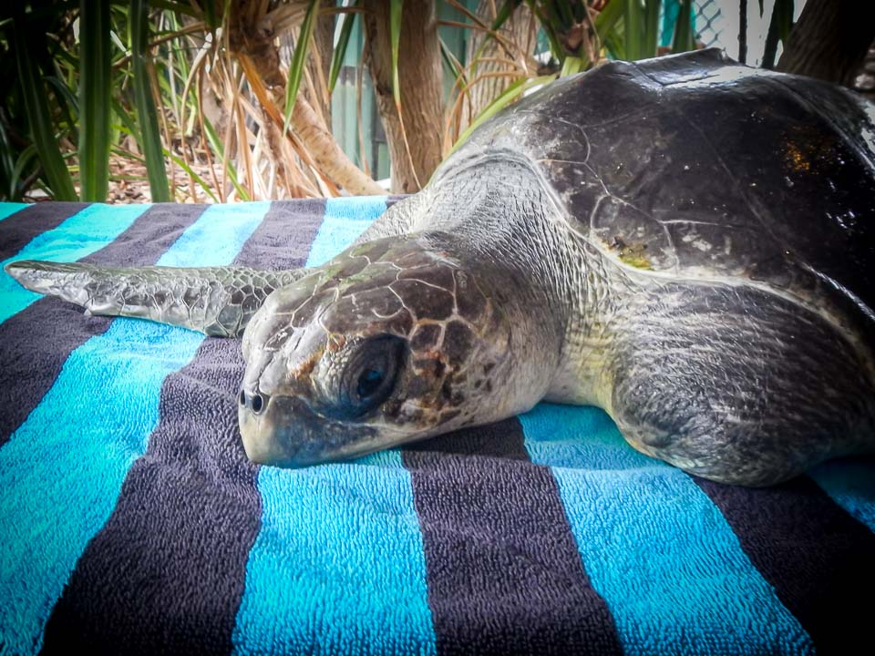 Erica injured Olive Ridley turtle rescue Maldives