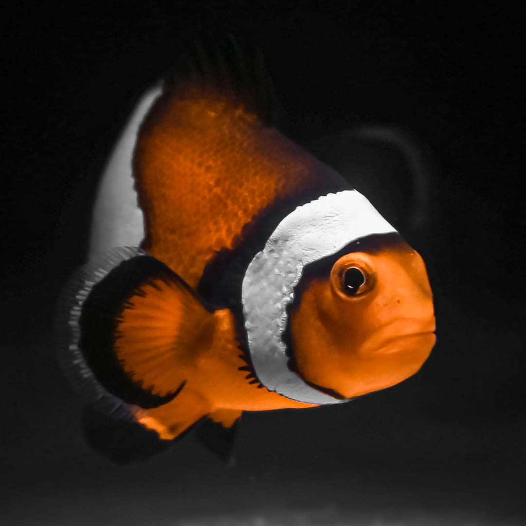 Fish Lab - our Common Clownfish closeup
