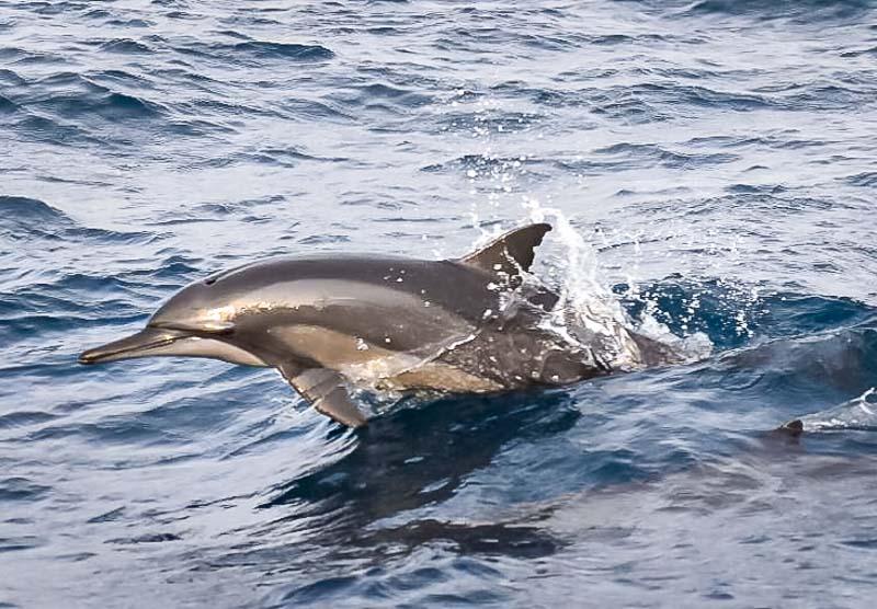 Dolphin ID - resighting of Swiss