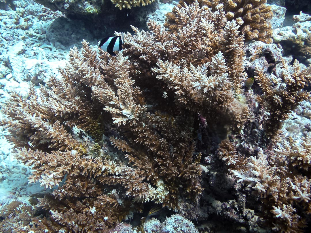 Acropora echinata (2) growth form Reefscapers Maldives