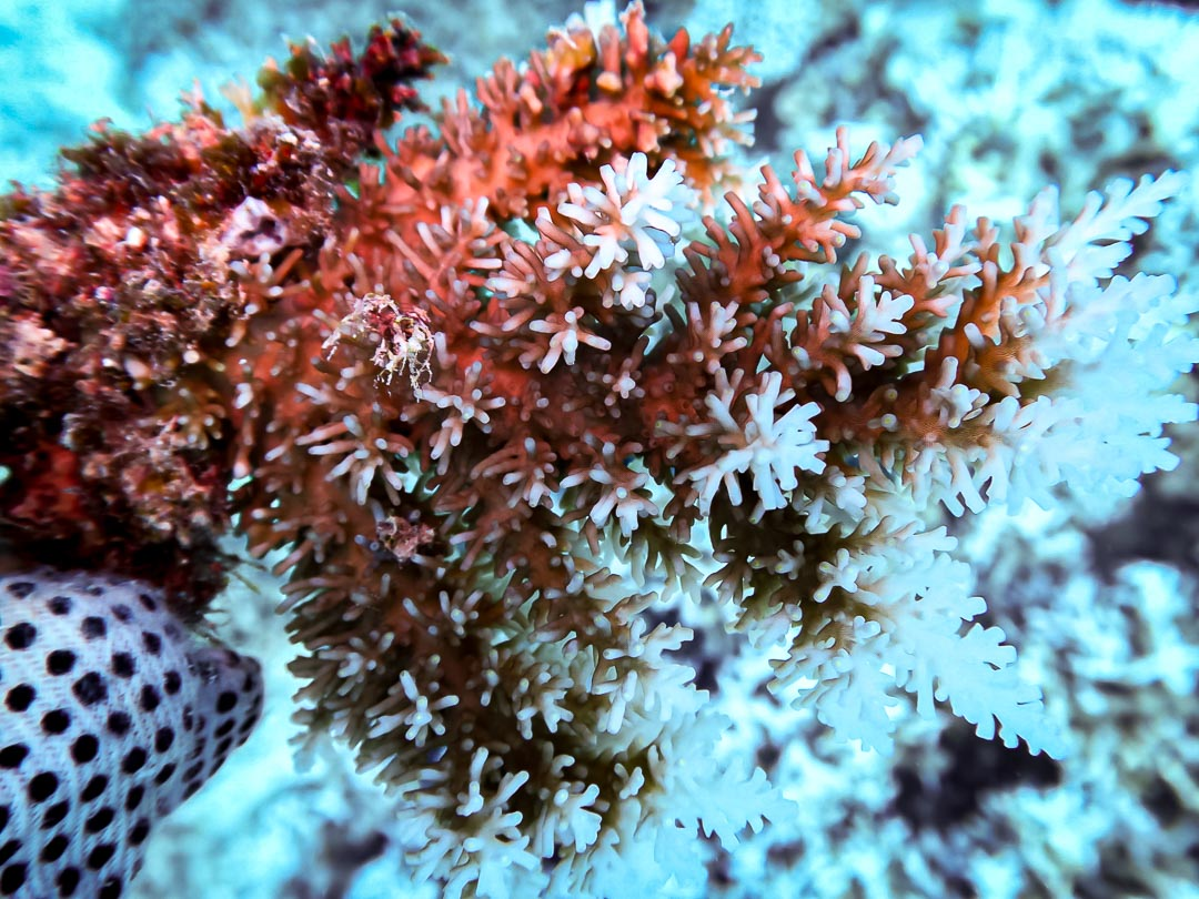 Acropora echinata (3) coral branching detail Reefscapers Maldives