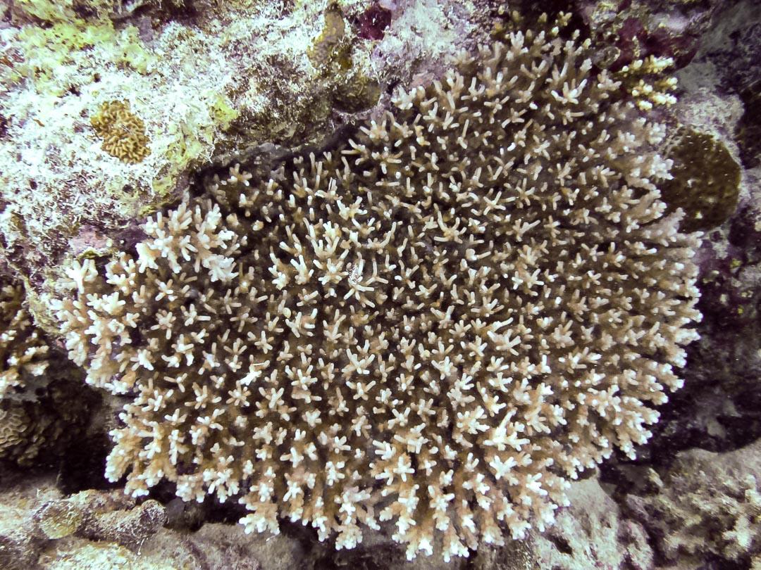 Acropora granulosa (3) large coral colony Reefscapers Maldives