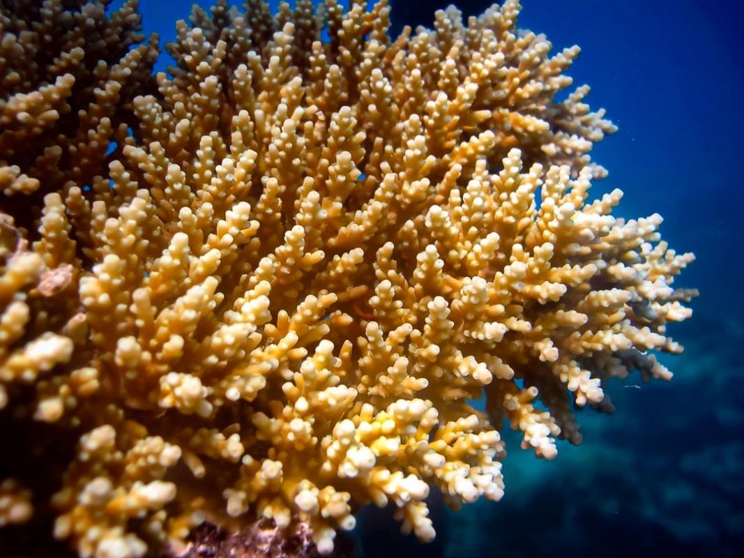 Acropora loripes (1) shallow reef Reefscapers Maldives