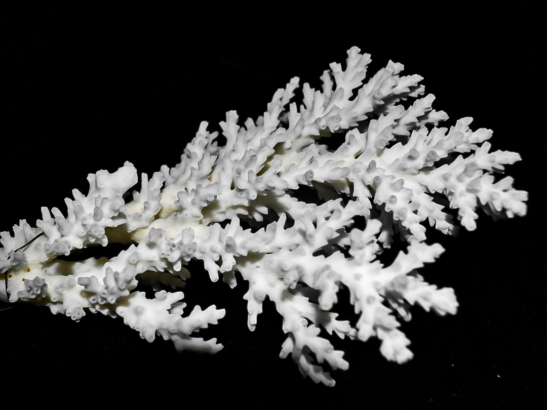 Acropora loripes (7) coral skeleton Reefscapers Maldives