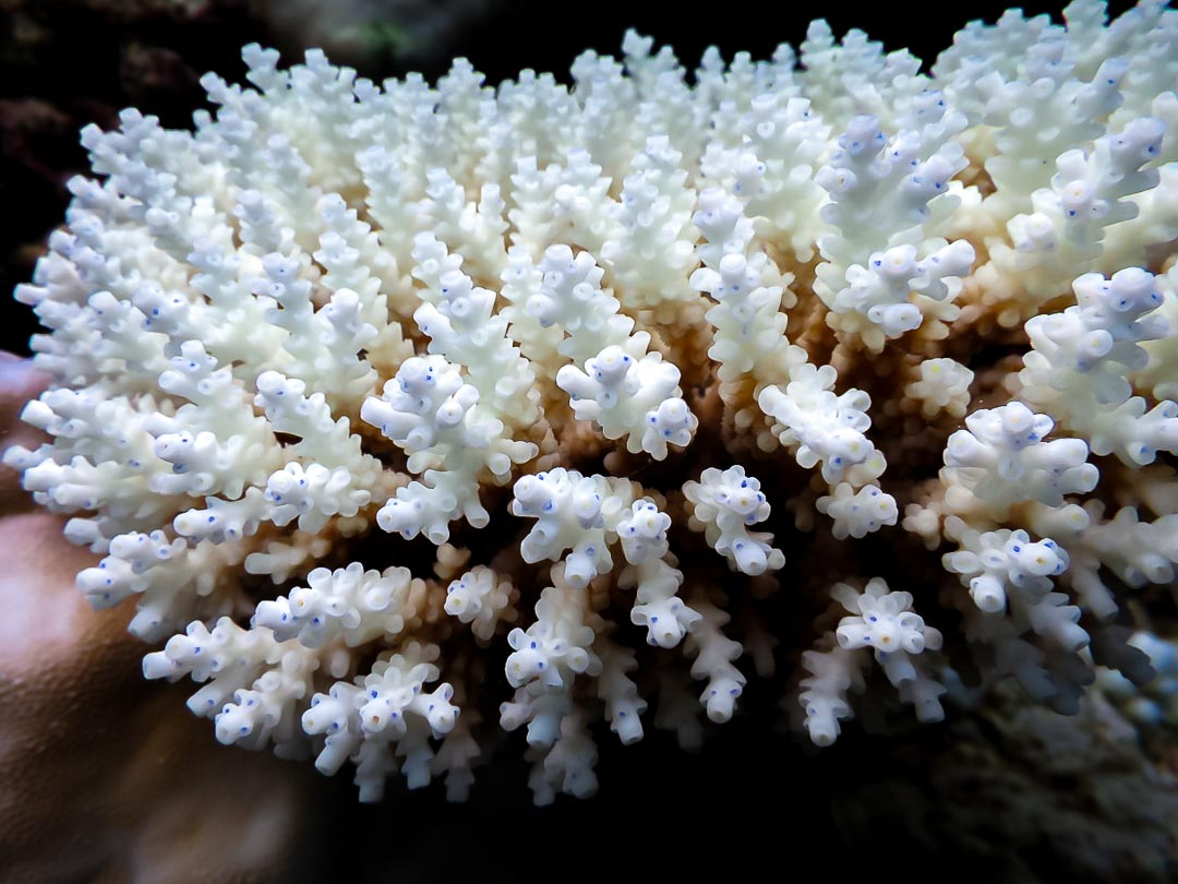 Acropora tenuis (5) bleached coral colony with blue polyps Reefscapers Maldives