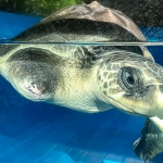 April - Olive Ridley rescue turtle Marine Savers Maldives