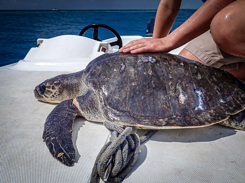 Hailey Armand rescued Olive Ridley turtle Marine Savers Maldives [PB160602] [960]