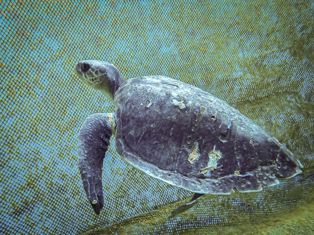 Hailey Armand rescued Olive Ridley turtle Marine Savers Maldives (enclosure) [1080]
