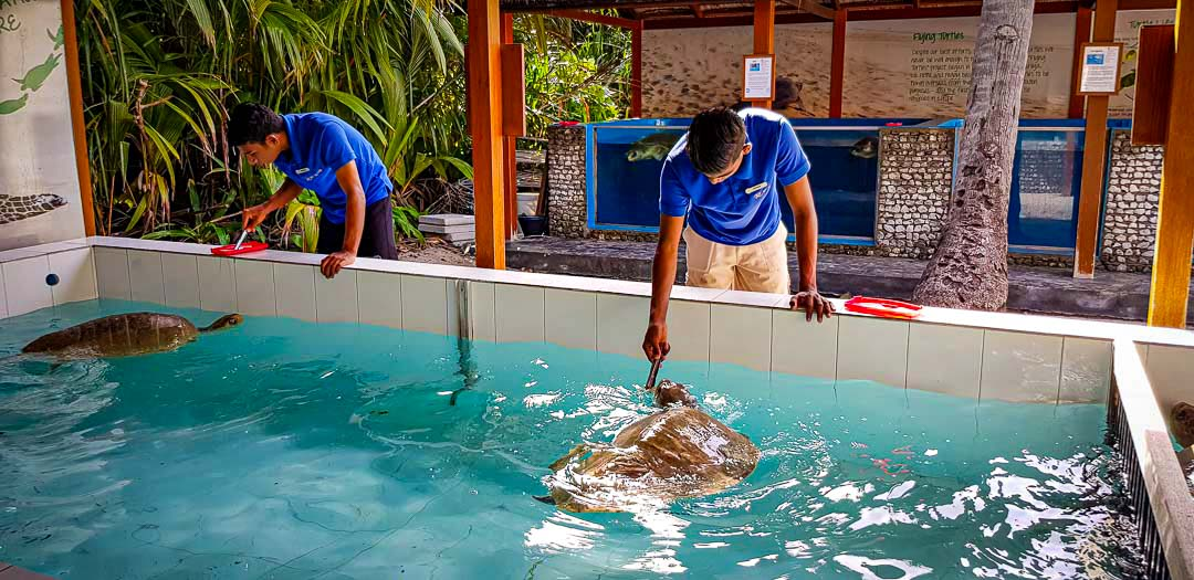 ethan, pinecone, Flipsy turtle rehabilitation Marine Savers Maldives