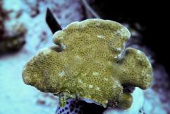 Pavona maldivensis