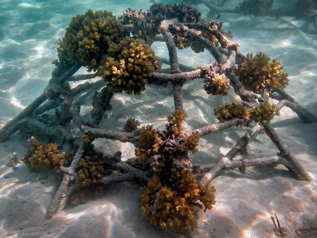 Pocillopora damicornis coral frame Reefscapers Maldives