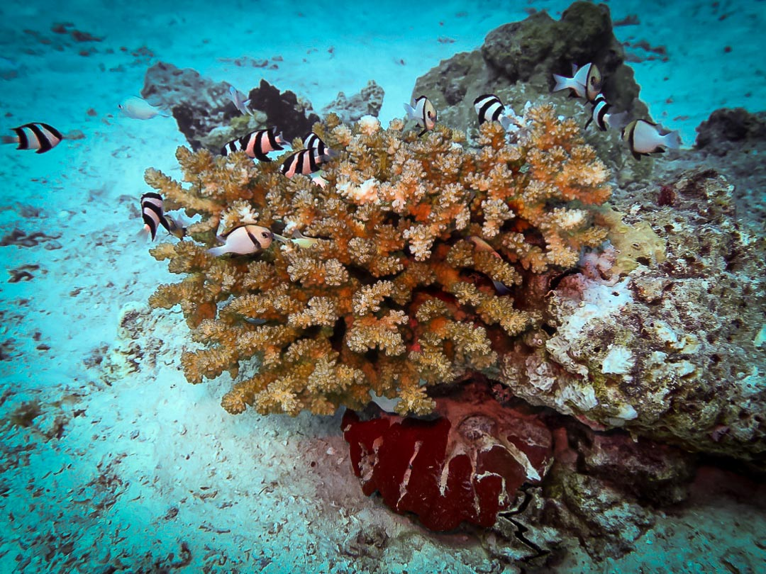 Pocillopora verrucosa (2) less-compact coral Reefscapers Maldives