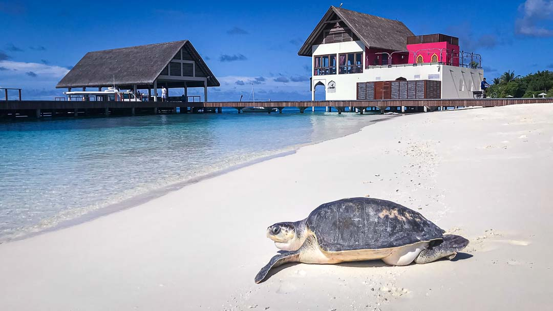 Varu – Olive Ridley rescue turtle Marine Savers Maldives (10.2019) [1080]