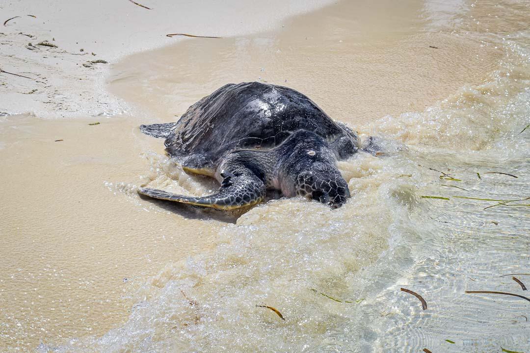 Sadamo juvenile olive ridley turtle stranding Maldives release