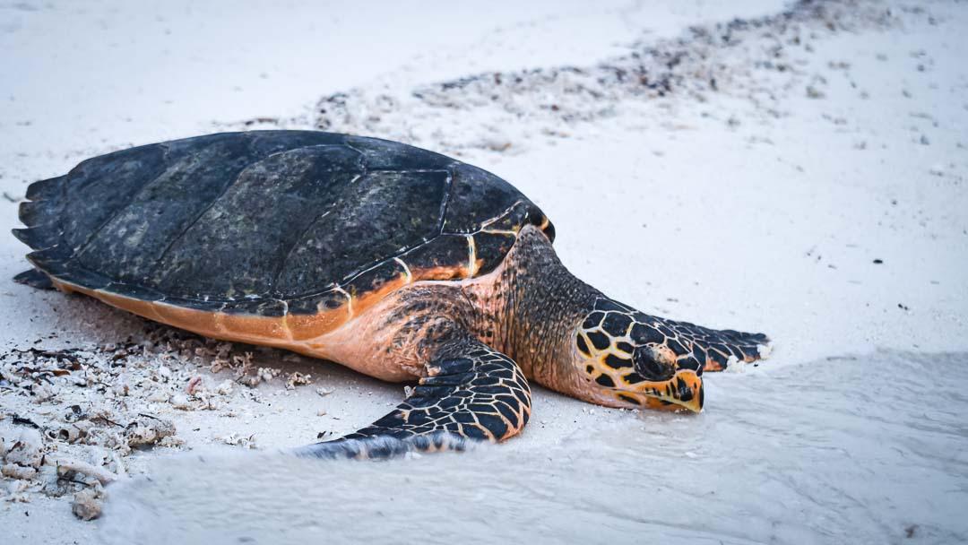KG - releasing stranded Hawksbill turtle Maldives