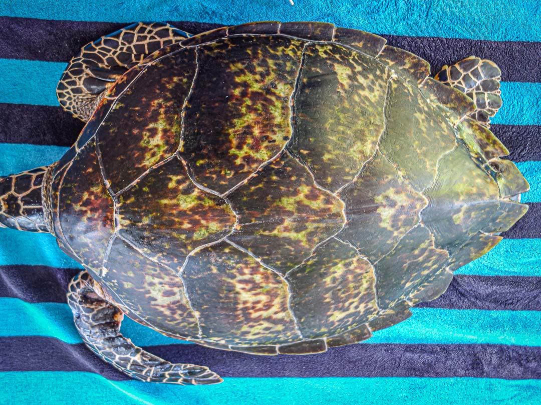 KG - rescue Hawksbill turtle Marine Savers Maldives