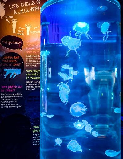 Kreisel jellyfish tank Aurelia aurita Marine Savers Maldives