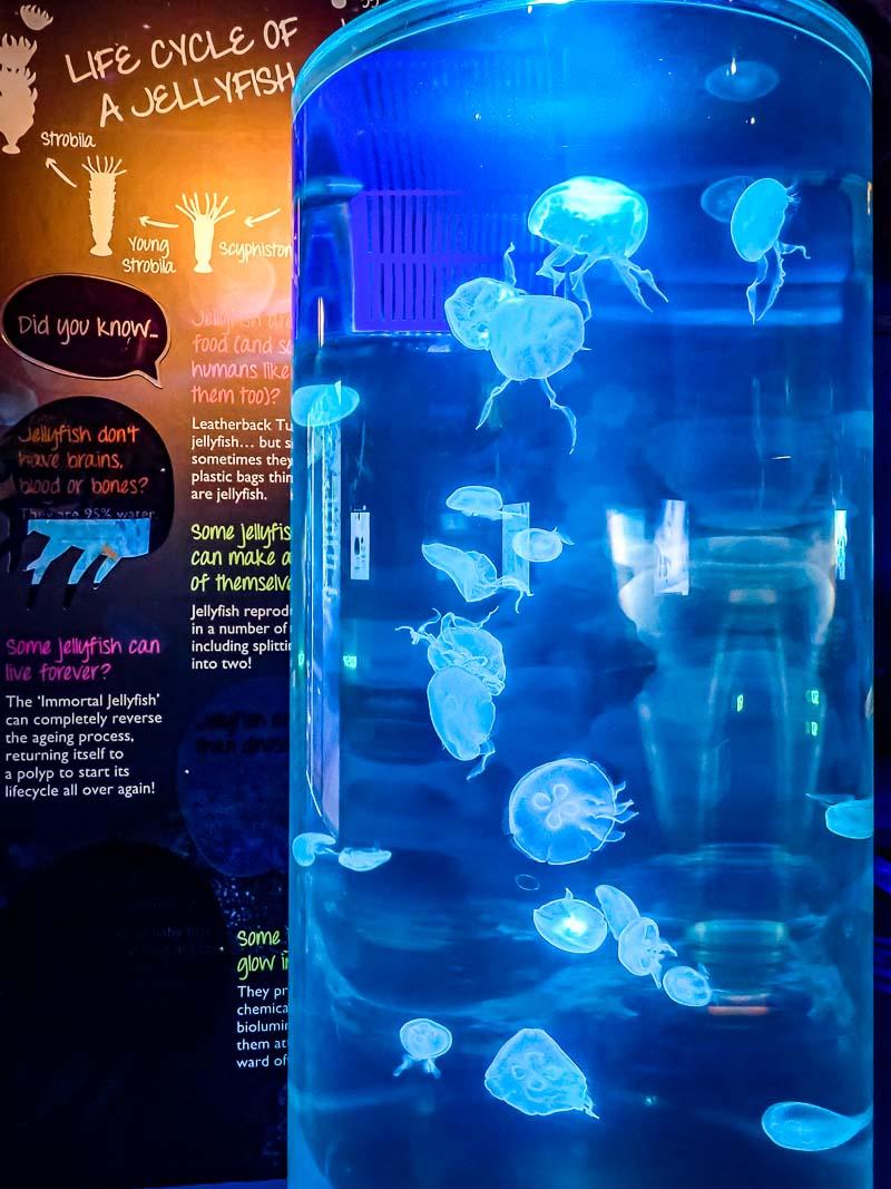 Kreisel jellyfish tank Aurelia aurita Marine Savers Maldives (1) [800]