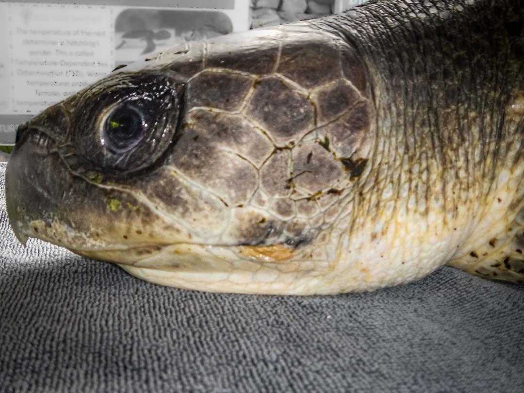 Maruvee stranded Olive Ridley turtle Maldives [201220MXX01-LO]