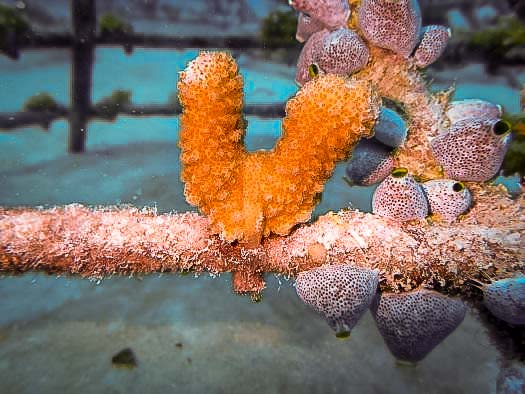 Reefscapers transplanted coral fragments [LG 2019.10] (2) [800]
