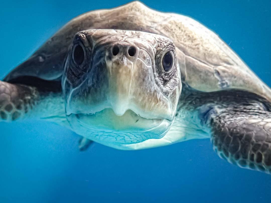 Aisha stranded Olive Ridley turtle rescued Maldives