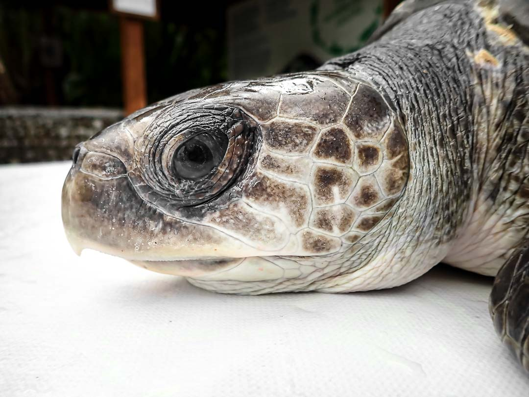 SAMU - stranded Olive Ridley turtle rescue, Marine Savers Maldives