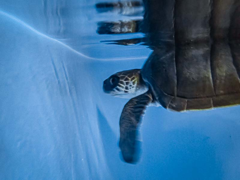 Zaby rescue Olive Ridley turtle stranded Maldives