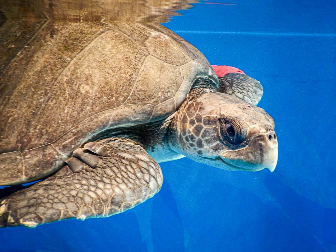 Zubeen rescued Olive Ridley turtle Maldives (2) [1080]
