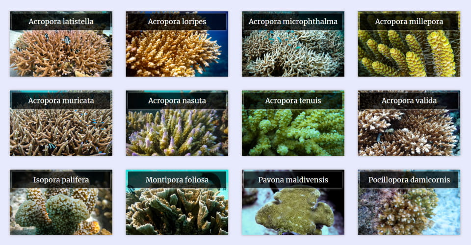 Coral Database featured image Reefscapers Maldives