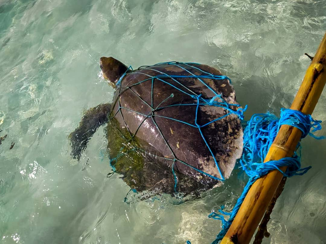 Fabia stranded Olive Ridley turtle Maldives