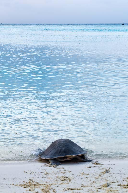 Jahura Olive Ridley turtle rehabilitation release Maldives