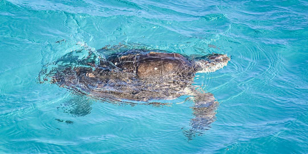 Nadia rehabilitated rescue Olive Ridley sea turtle Maldives - release day